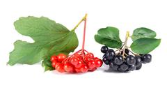 black ashberry and red viburnum - stock photo