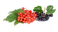 Black ashberry and red viburnum Stock Photos