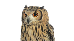 Close-up of a  indian eagle owl looking around Stock Footage