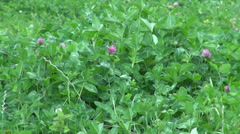 Clover blossom field, meadow, unpolluted plants for animals Stock Footage