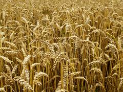 Detail of crop ready wheat Stock Photos