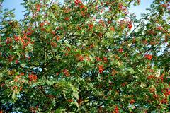 mountain ash laden with berries - stock photo