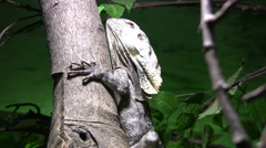 Frilled lizard clinging to a tree Stock Footage