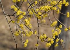 European cornel (Cornus mas) in bloom Stock Photos