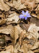 Flowering wild Anemone hepatica - stock photo