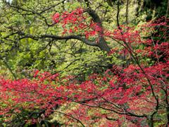 Detail of the red Acer foliage in the spring - stock photo