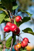 Stock Photo of malus baccata red obelisk