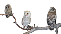 Indian scops owl, barn owl and souther boobook perched on a branch Stock Footage