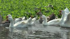 HOUSE GEESE FLOATING ON THE RIVER Stock Footage