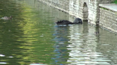 Black Swans in a pond - stock footage