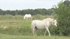White wild horses passing by in field Stock Footage