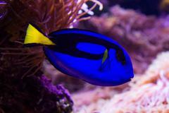 Blue surgeonfish Stock Photos