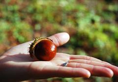 chestnut on a palm - stock photo
