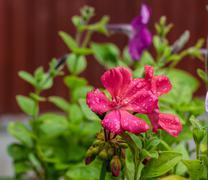 Bright pink geraniums Stock Photos