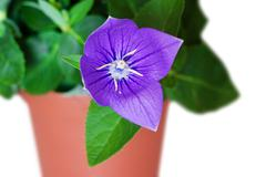 campanula in a pot - stock photo