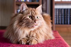 big fluffy ginger cat - stock photo
