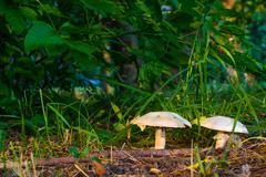 White  mushrooms Stock Photos