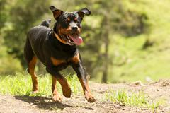 Some Dogs Likes To Run Free This Is A Super Educated Dog That Won The Right To - stock photo