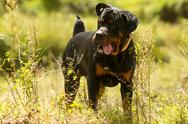 Stock Photo of off leash rottweiler
