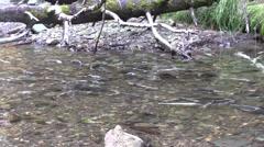 Early Salmon run Stock Footage