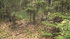 Autumn forest Stock Footage