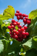 Stock Photo of viburnum is a genus of woody flowering plants in the family adoxaceae
