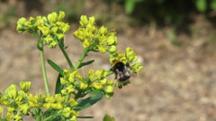 Common rue - ruta graveolens in bloom + bumblebee - close up Stock Footage