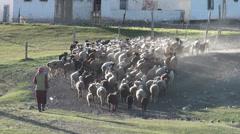 Herding sheep in Pamir village Stock Footage