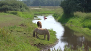 Stock Video Footage of Horses on riverbank  Drentsche Aa + canoe approaching