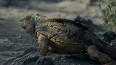 Galapagos iguanas 4 Stock Footage