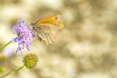 meadow brown, maniola jurtina - stock photo
