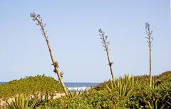 Stock Photo of three sisal stems pointing skyward with beach background