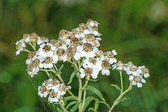 achillea ptarmica, sneezewort - stock photo