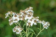 Stock Photo of achillea ptarmica, sneezewort