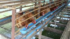 Hen or chicken and eggs eating food in farm Stock Footage