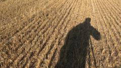 Autumn wheat field after  harvesting with straw and videographer shadow Stock Footage