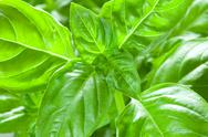 Stock Photo of basil leaves