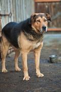 large guard dog - stock photo