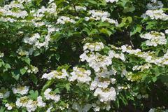 Blooming viburnum Stock Photos
