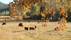 Cattle in Pasture, Fall Colors Stock Footage