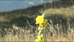 Yellow hollyhock on a plateau Stock Footage