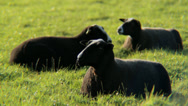 Stock Video Footage of Black Sheep Chilling, Chewing and Staring