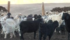 Sheep have been herded back to the corral Stock Footage