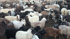 Herded sheep in corral in Tajikistan, livestock in remote settlement Stock Footage