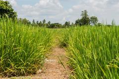 earthen dyke in rice field - stock photo