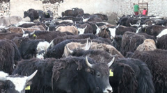 Yaks in a corral in the Pamirs, Tajikistan Stock Footage