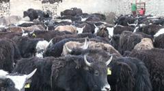 Yaks in a corral in the Pamirs, Tajikistan Stock Footage