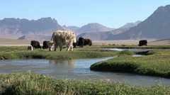 Herd of yaks in Tajikistan Stock Footage