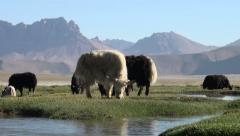 Grazing yaks in spectacular landscape in Tajikistan Stock Footage
