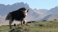 Curious yak looks into the camera, remote location in Central Asia - stock footage